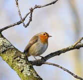 Perching Robin Redbreast. A Robin redbreast perching on a twig Stock Photos