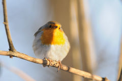 Perching Robin in winter Royalty Free Stock Photos