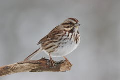 Perching Sparrow. A song sparrow (Melospiza melodia) perching on a branch in winter stock photo