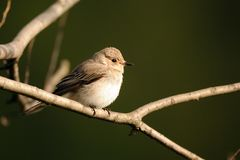 Perching Spotted Flycatcher in spring royalty free stock photo
