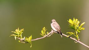 Perching Spotted Flycatcher in spring royalty free stock photography