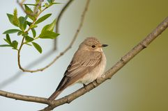 Perching Spotted Flycatcher in spring royalty free stock photos