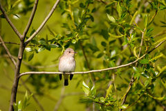 Perching Spotted Flycatcher in spring stock images