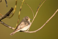 Perching Spotted Flycatcher in spring stock photo