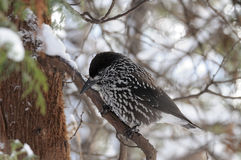 Perching Spotted nutcracker in winter forest Stock Image