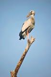 Perching stork. Openbill stork in Thailand stock photo