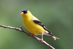 Perching Summer Goldfinch