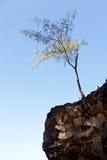 perching tree för karg klippaframsida royaltyfri bild