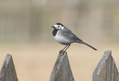Perching Wagtail Royalty Free Stock Photos