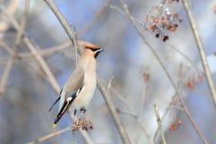 Perching Waxwing at rowan-tree Royalty Free Stock Images