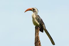 Perching Western Red-Billed Hornbill Stock Photos