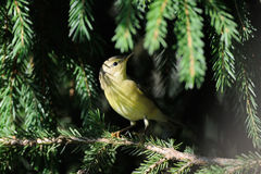 Perching Willow Warbler at fir branch Royalty Free Stock Images