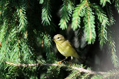 Perching Willow Warbler at fir branch Royalty Free Stock Image