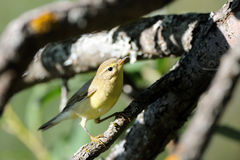 Perching Willow Warbler at tree branch Stock Photos