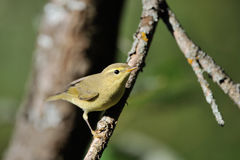 Perching Willow Warbler at tree branch Stock Photo