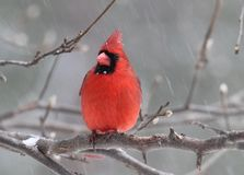 Perching Winter Cardinal Stock Image