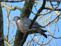 Perching Wood Pidgeon Stock Images