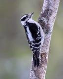 Perching Woodpecker Stock Photo