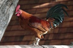 Perchoir de coq Photos stock