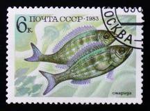 Perciformes (Percomorphi, Acanthopteri) από τη σειρά ψαριών τροφίμων, κατάλογος 5165 του Scott μπλε κίτρινος καφετής A2470 6k, ci Στοκ φωτογραφία με δικαίωμα ελεύθερης χρήσης