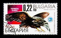 Percnopterus del Neophron dell'avvoltoio egiziano, serie degli uccelli, circa 200 Immagine Stock Libera da Diritti