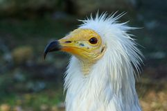 percnopterus neophron Стоковая Фотография RF