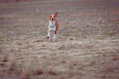 percorrer Corrida dos cães de Basenji Imagens de Stock