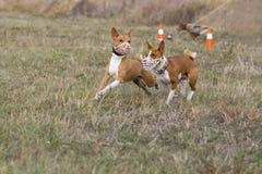 percorrer Corrida dos cães de Basenji após uma atração Campo gramíneo Fotos de Stock Royalty Free