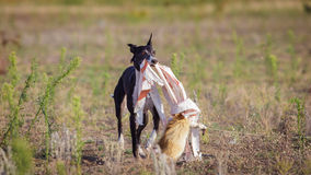 percorrer O cão do cão de corrida trava a isca Imagem de Stock Royalty Free