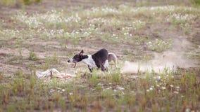 percorrer O revestimento do cão de corrida dos cães falta a atração Foto de Stock