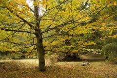 Percorsi della natura di Autumn Tree di giallo del Madera fotografia stock