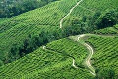 Percorsi nel giardino di tè Immagine Stock Libera da Diritti