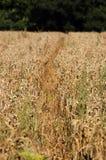 Percorso attraverso il wheatfield Fotografia Stock