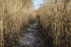 Percorso attraverso l'alta canna nell'inverno Fotografia Stock Libera da Diritti