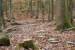 Percorso dei ceppi di albero che conducono nella foresta fotografia stock libera da diritti