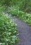 Percorso del prato dei fiori bianchi di Fawn Lily Fotografia Stock