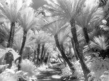 Percorso della felce nel Infrared Fotografia Stock
