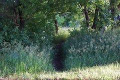 Percorso di camminata in erba alta nel legno e negli alberi del pioppo Fotografie Stock Libere da Diritti