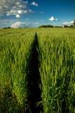 Percorso di estate del giacimento di grano Fotografie Stock Libere da Diritti