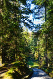 Percorso in foresta sempreverde, montagne carpatiche, Ucraina Viaggio, ecoturismo Fotografia Stock