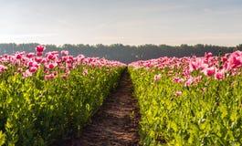 Percorso fra due campi con i papaveri di fioritura rosa fotografia stock libera da diritti