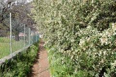 Percorso fra il recinto e l'arbusto di fioritura Fotografia Stock