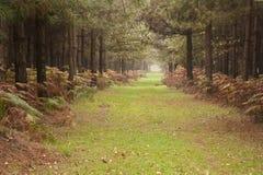 Percorso lungo attraverso la foresta dell'albero di pino nella caduta di autunno Fotografia Stock