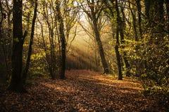 percorso nebbioso attraverso il legno, callington, Cornovaglia, Regno Unito del terreno boscoso Immagini Stock Libere da Diritti