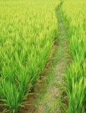 Percorso nei campi di risaia Immagini Stock Libere da Diritti