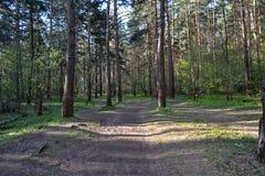 Percorso nella foresta del pino Immagine Stock Libera da Diritti