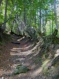 Percorso nella foresta fra i vecchi alberi Immagine Stock