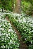 Percorso profumato - percorso del terreno boscoso - allium Ursinum - aglio selvaggio - Ra Immagini Stock