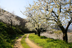 Percorso sotto gli alberi del fiore di ciliegia Fotografie Stock