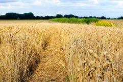 Percorso stretto in un campo giallo con grano maturo Immagine Stock Libera da Diritti